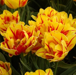 TULP Monsella