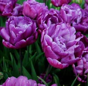 TULP Blue Diamond
