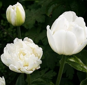 TULP Up White