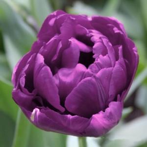 TULP Purple Jacket