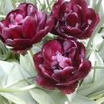 TULP Black Hero