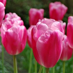 TULP Jumbo Pink
