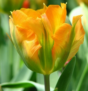 TULP Golden Artist