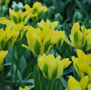 TULP Yellow Spring Green