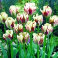 TULP Flaming Springgreen