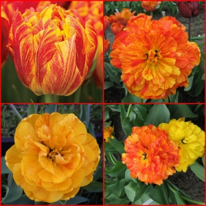 TULP Monte Flame