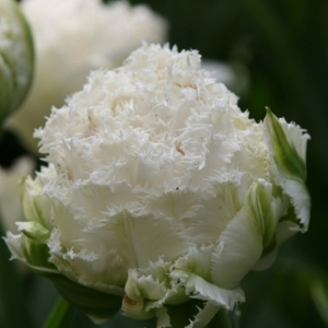 TULP Snow Crystal