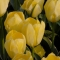 TULP Easter Moon