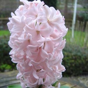 HÜATSINT China Pink