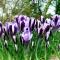 BOTAANILINE KROOKUS Spring Beauty