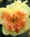 NARTSISS Vanilla Peach