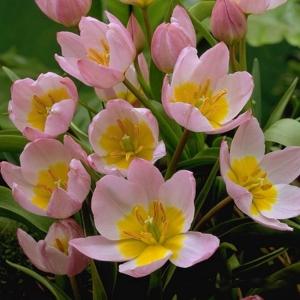 BAKERI TULP Lilac Wonder