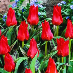 TULP Red Riding Hood