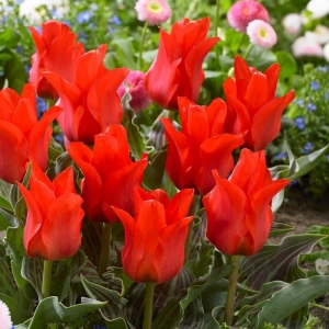 TULP Red Torch
