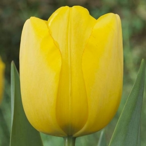 TULP Golden Parade