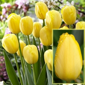 TULP Golden Oxford