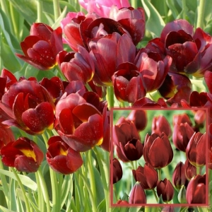 TULP Wallflower