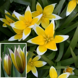 HILISTULP Tulipa Tarda