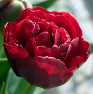 TULP Emblazon