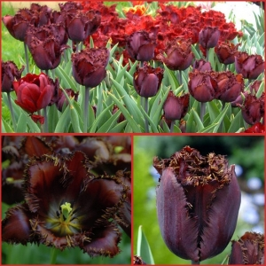 TULP Black Jewel