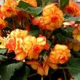 BEGOONIA Picotee kollane/punane