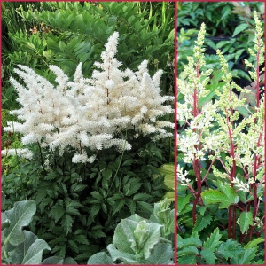 ASTILBE Rock and Roll