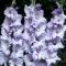 AEDGLADIOOL Sweet Blue