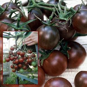 TOMAT Black Cherry