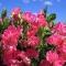 LÕHNAV LILLHERNES Spenser roosa