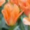Tulp Purissima Orange