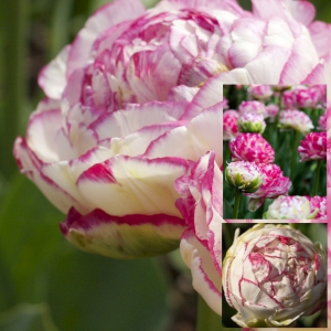 Tulp Double Touch