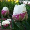 TULP Double Polar