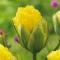 Tulp Pop Up Yellow