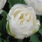 TULP Maureen Double