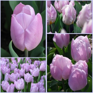 TULP Candy Prince