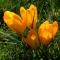 SUUREÕIELINE KROOKUS Golden Yellow