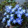 FORBESI KIRGASLILL Blue Giant
