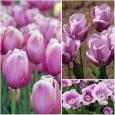 TULP Holland Beauty