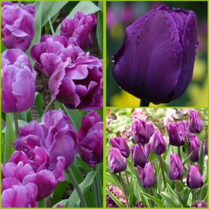 TULP Purple Rain