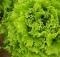 LEHTSALAT Aficion (bataavia salat)