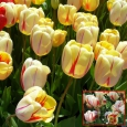 TULP Burning Heart
