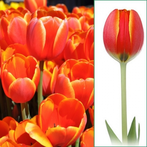 TULP World´s Favourite