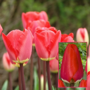 TULP Fostery King