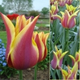 TULP Ballade Dream