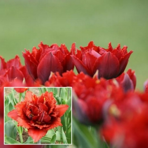 TULP Crispion Dark