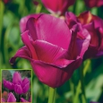 TULP Purple Bouquet