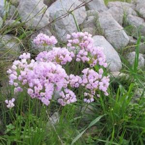ROOSA LAUK Allium roseum