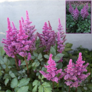 ASTILBE Purple Rain
