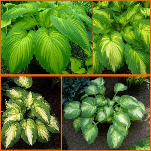 HOSTA War Paint