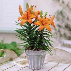 AASIA LIILIA  Orange Pixie